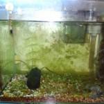 コケが消えた!石巻貝(イシマキガイ)の水槽掃除力がものすごい。