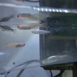 メダカを選ぶときは、きれいな水槽で売られているかを大事にすべき